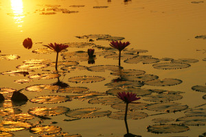 Lotus pond in the golden light of the evening sun.
